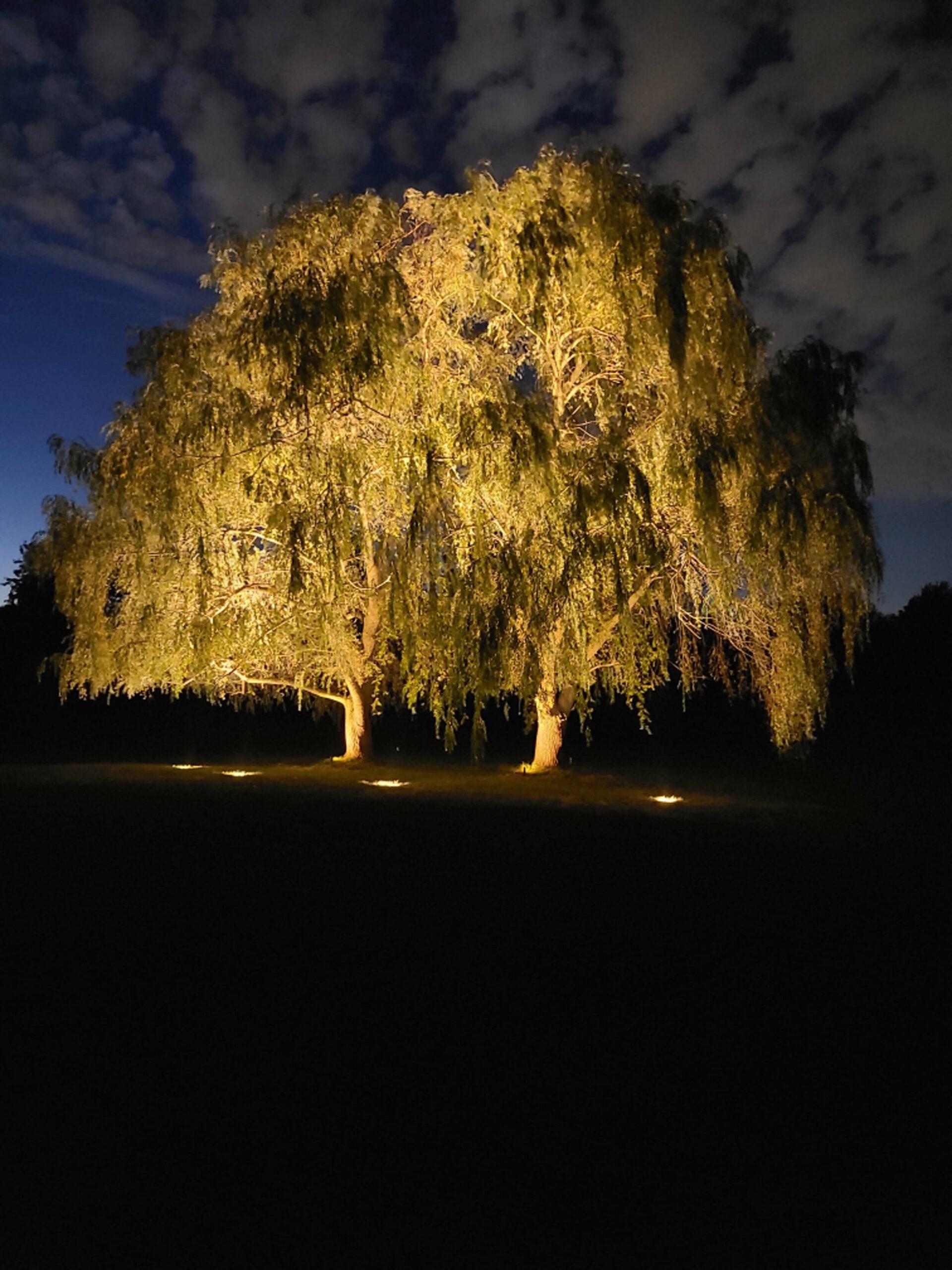 Majestic willow tree in Hamilton Ontario